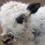 How do nomads make Mongolian fur?